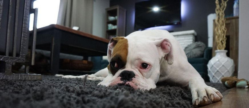 boxer on carpet in staged living room